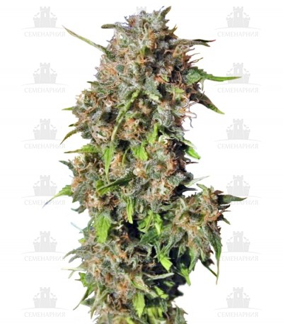Сорт Wild Rose fem (Sweet Seeds)