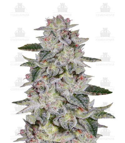 Сорт Sweet Valley Kush fem от Green House Seeds