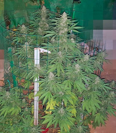 Сорт Sweet Special F1 Fast version Fast Version fem (Sweet Seeds)