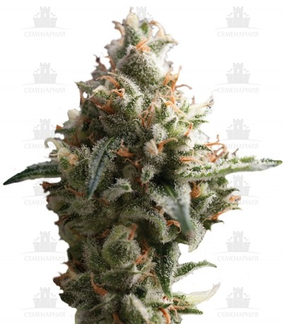 Сорт Auto Super Hash fem (Pyramid Seeds)
