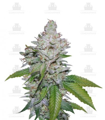 Купить White Berry fem (VIP Seeds)
