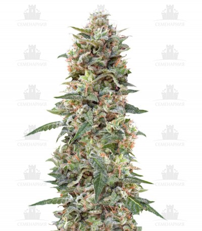 Сорт California Kush fem (00 Seeds)
