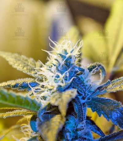 Сорт Ice Cool fem (Sweet Seeds)
