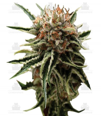 Сорт Shark fem (Pyramid Seeds)