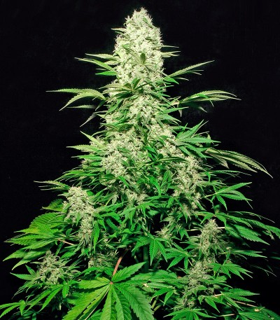 Сорт White Russian fem (Serious Seeds)