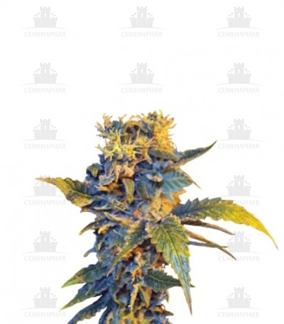 Сорт Colombian Sweet fem (VIP seeds)
