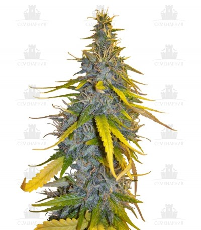 Сорт S.A.D. Sweet Afgani Delicious F1 Fast Version fem (Sweet Seeds)