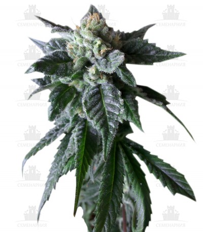 Сорт Sweet Mango Auto fem (Green House Seeds)